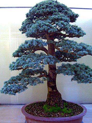 10 pcs/cèdre sac Graines sortes de graines d'arbres bonsaï vert usine de cèdre du Japon pour le jardin à la maison droite plantes ligneuses vivaces 6