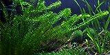 Lebende Aquariumpflanze - Dichtblättrige Wasserpest