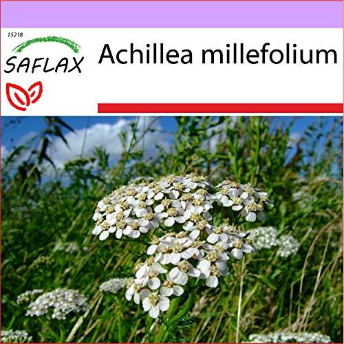 SAFLAX - Milenrama - 200 semillas - Achillea millefolium