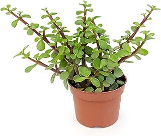 Portulacaria Afra Árbol de la Abundancia Maceta 12cm Planta Suculenta Natural