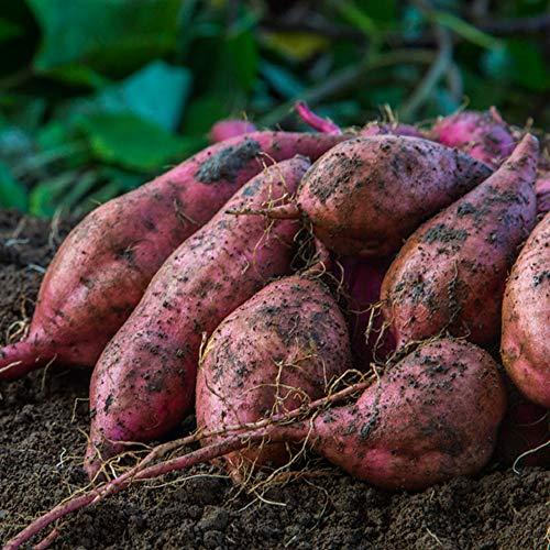 安納芋 20kg (10kg×2箱セット) 土付き 生芋 (M〜2Lサイズ混合) 鹿児島県産 さつまいも あんのういも