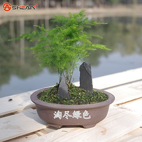 Asperges setaceus Seeds Accueil Petite Bamboo Chance Bamboo Seed pour Home Flower Pot Plants 30 particules / lot