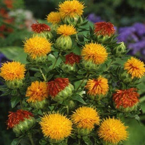 Germinación Las Semillas: a 100 Semillas: Semillas de cártamo Outsidepride Flor de Naranja