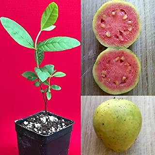 pink guava plant