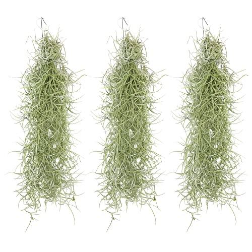 Tillandsia usneoides | Luftpflanze | Zimmerpflanze | Urban Jungel | Zimmerpflanzen indoor | Tillandsien Pflanzen echt | Bromeliengewächs | hängende Zimmerpflanze (3, 30 cm)