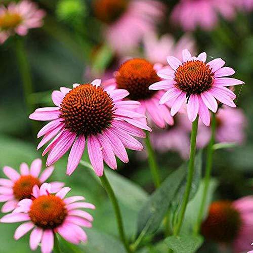 Coneflower Echinacea purpurea Seeds 30+ Purple Blooms Blumensamen Pflanzen für den Hausgarten