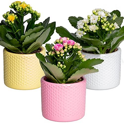 Kalanchoe Gardenlina   3er-Set -...