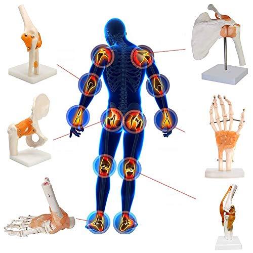 Scientific Menschliches Gelenk Anatomiemodell -Schulter-/ Fuß-/ Ellbogen-/ Hüft-/ Knie-/ Handgelenk Skelett Modell - Hüftgelenk, 1: 1 Lebensgroßes Anatomisches Modell-Skelett,Shoulderjoint