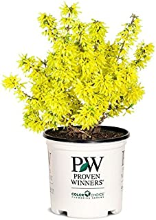 Proven Winners - Forsythia Show Off Sugar Baby (Forsythia) Shrub, yellow flowers, #2 - Size Container