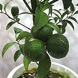 シークワーサー(ヒラミレモン)4~5号ポット[10~11月収穫 沖縄の柑橘・酢ミカン][果樹苗木]