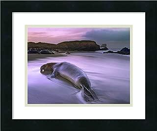 Framed Wall Art Print Northern Elephant Seal Bull Laying at Surfs Edge Point Piedras Blancas California by Tim Fitzharris 18.00 x 15.00
