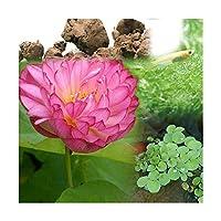 (ビオトープ)(めだか)ビオ植物とメダカセット 茶わん蓮(チャワンハス) 鉢なしセット 本州四国限定