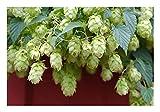 Wilder Hopfen (Humulus lupulus)'Wunderschöne Kletterpflanze' 2 Töpfe
