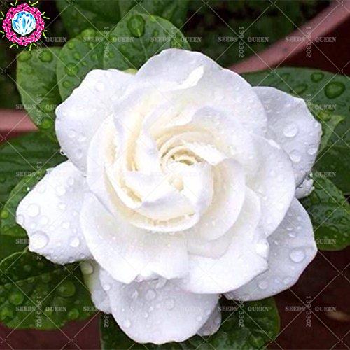 2 pièces/sac graines de fleurs de Gardenia (Cape Jasmine) jardin en pot Bonsai odeur incroyable et de belles fleurs pour chambre bateau libre 3
