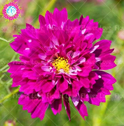 100pcs Rare Double Cosmos Graines de fleurs vivaces plantes à fleurs en pot pour jardin Cour Plantes décoratives 5