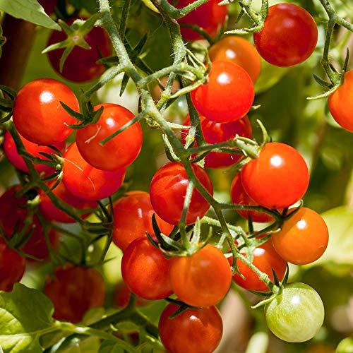 Barbaniaka Bio-Tomatensamen für ca. 10 Pflanzen - Massenertrag, robuste Sorte