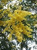New - 5 Yellow Mimosa Tree Seeds