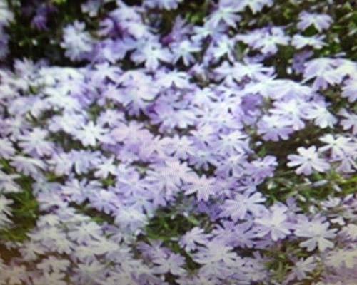 Phlox 50 Stück subulata Emerald Cushion Blue Polster-Phlox T9x9 Bodendecker winterharte Staude