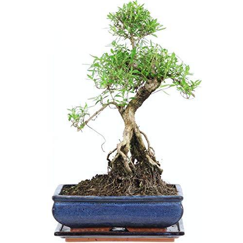 Junischnee, Bonsai, 11 Jahre, 42cm