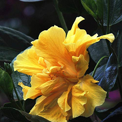 perennes Resistentes para balcón,Flower Pot Hibiscus Sapling Seeds-3 Years_Yellow,Flores Semillas Planta Bonsai