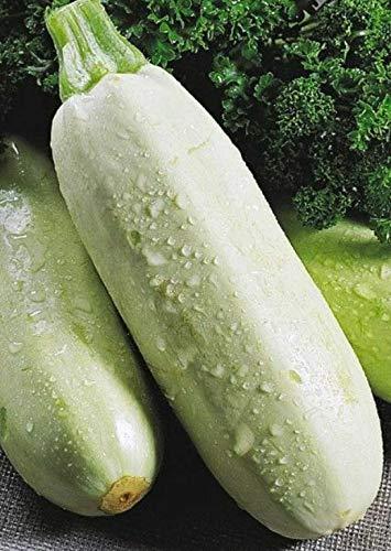 Samen Squash Zucchini Gribovsky Weiß, Gemüse, Bio-Heirloom Russian Ukraine
