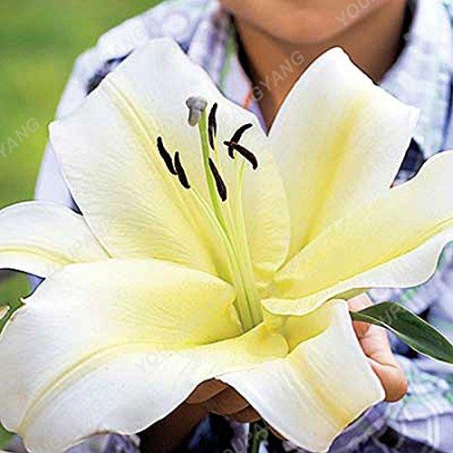 Promotion! 100pcs parfum Lily Graines de fleurs Germination 99% Creepers Bonsai Bricolage Fournitures Jardin Pots Planters Livraison gratuite Jaune