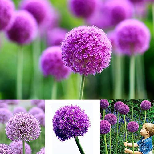 yanbirdfx Blumen Samen für Garten und Balkon-40 Stück lila Riesen Allium Samen Giganteum Zwiebel Blume Pflanzen Garten Dekor