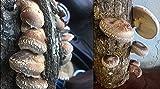 "Shiitake Mushroom Log 12inches 12"" Mushrooms"