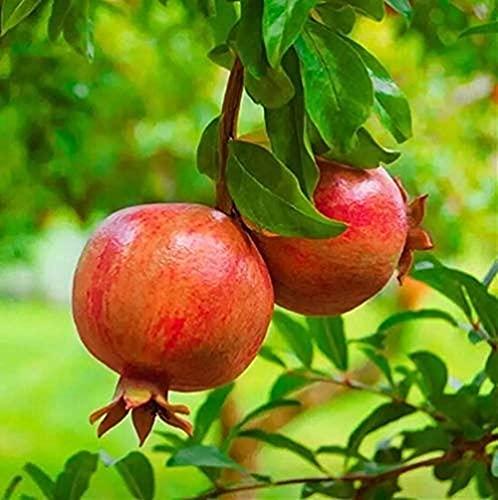 50 Stücke Granatapfel Samen Früchte Die Drinnen Und Draußen Angebaut Werden Mehrjährige Erbstücksamen Dekorieren Hausgärten Pflegeleicht Und Wartungsarm