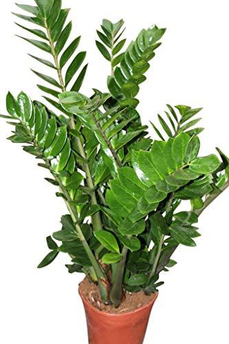 Plante d'intérieur - Plante pour la maison ou le bureau - Zamioculcas zamiifolia, hauteur environ 70 cm - Également surnommée « Plante ZZ »