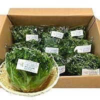 千葉県産 レタス クリスピーフリル 生野菜 12袋入り1セット 鮮度保持フィルム包装CL便