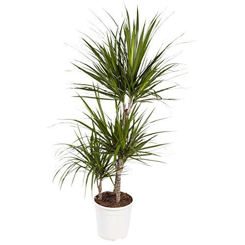 Plante d'intérieur de Botanicly – Dragonnier – Hauteur: 95 cm, 3 pousses – Dracaena Marginata