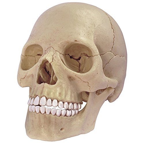 4D Master 26086 Human Anatomy Exploded Skull Model 3D Puzzle, One Color by 4D Master