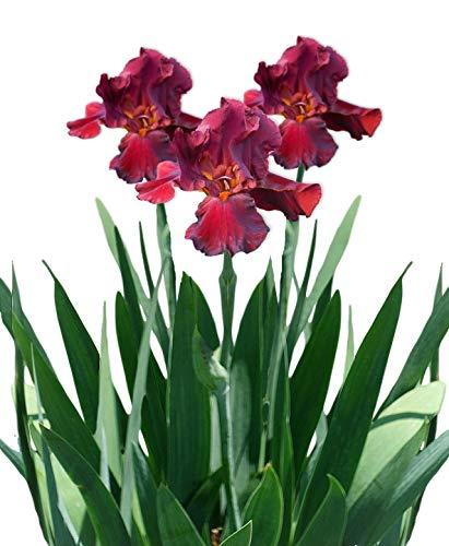Reblooming Bearded Iris Bernice's Legacy- Rare Red Bearded Iris Early Season Bloomer - 1 Large Rhizome | Ships from Easy to Grow TM