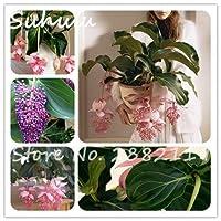 混合:100ピースメディニラ・マグニフィカ種子多年生の美しい花屋内盆栽種子用ホームガーデン出芽率95%簡単成長