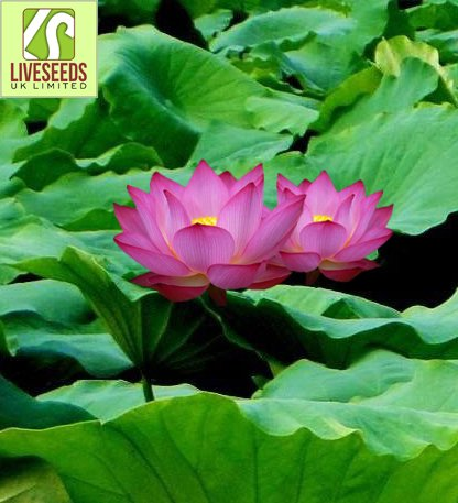 Liveseeds - Mini rose Bonsai Lotus / Water Lily Flower / 5 graines fraîches