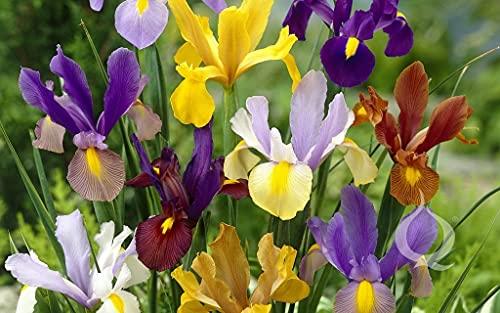 30 X Iris Olandese Mix - Iris Misti - Ø 10/+ Bulbi Di Alta Qualità (30)