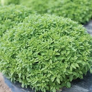 David's Garden Seeds Herb Basil Spicy Bush 5907 (Green) 500 Non-GMO, Open Pollinated Seeds
