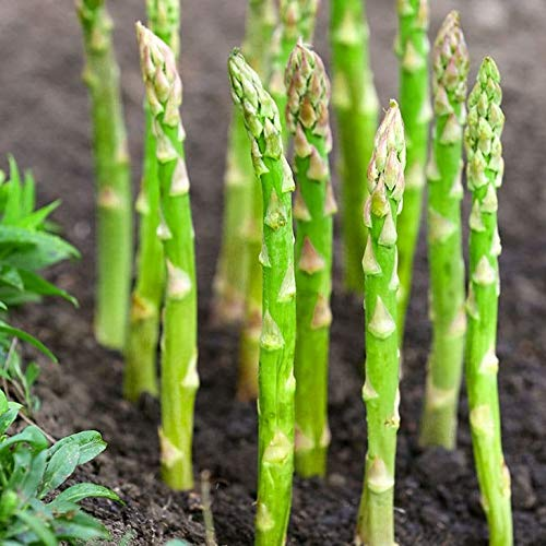 TomorrowSeeds - Asparagus Seeds - Packet - Organic Non GMO Garden Vegetable Fruit Herb Flower Plant Seed for 2021