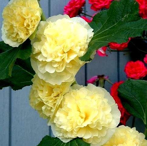 Rose trémière Chater pour double Jaune Graines - Althaea Rosea Fl. PL.
