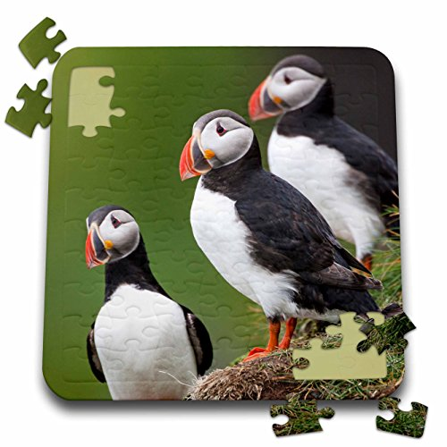 3dRose Iceland, Westfjords, A Group of Atlantic Puffins on a steep Hillside. - Puzzle, 10 by 10-inch (pzl_277480_2)