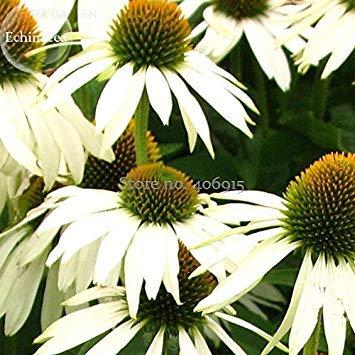 2018 Seltene Mittelgroße Weiß Echinacea Sonnenhut Mehrjährige Pflanzen, 100 Samen, Ziergarten Blumen E3716