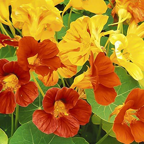 Eastbride Wildblumenwiese,Kapuzinerkresse-Samen, Vier Jahreszeiten trockener Lotus, Topf Kletter-Kapuzinerkresse-Samen-50 Kapseln,Blumensamen winterhart mehrjährig