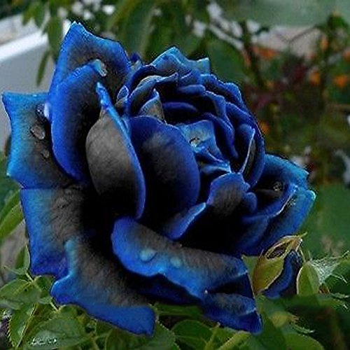 Cheapest Prices! (Bonsai Rose) 1 Professional Pack, 50 Seeds / Pack, New Midnight Supreme Rose Bush ...