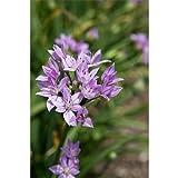 25 Bulbs of Allium Unifolium Flowering Onion