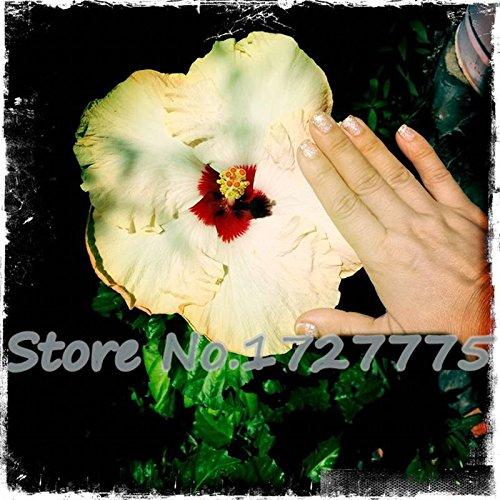 100 géant Fleur d'hibiscus Graines Hardy, mélange Couleur, DIY Home Garden en pot ou cour Fleur Plante,, blanc, As Show in Description