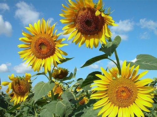 Les quatre saisons est une sorte de graines de fleurs Sourire graines de tournesol Les plantes comestibles balcon, 15 / paquet