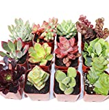 Succulent Plants 12-Pack, Fully Rooted in Planter Pots with Soil - Real Live Potted Succulents,Hand Selected Variety Pack of Mini Succulents