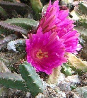 Grande vente 200pcs Vente HOT Graines Potted insectivores plantes clip Dionaea Muscipula géant Venus Flytrap Seeds