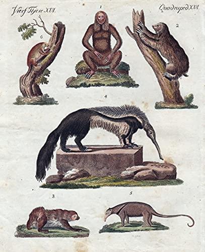 Vierf. Thiere XVI. - 1), 2) Der Ai. - 3) Der Unau. - 4) Der große Ameisen-Fresser. - 5) Der mittlere Ameisen-Fresser. - 6) Der kleine Ameisen-Fresser. - Faultier sloth Ameisenbär ant-eater Zweif ...